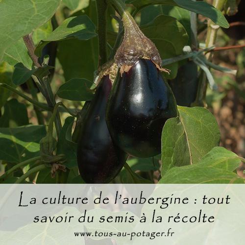 La culture de l'aubergine : semer, planter, récolter