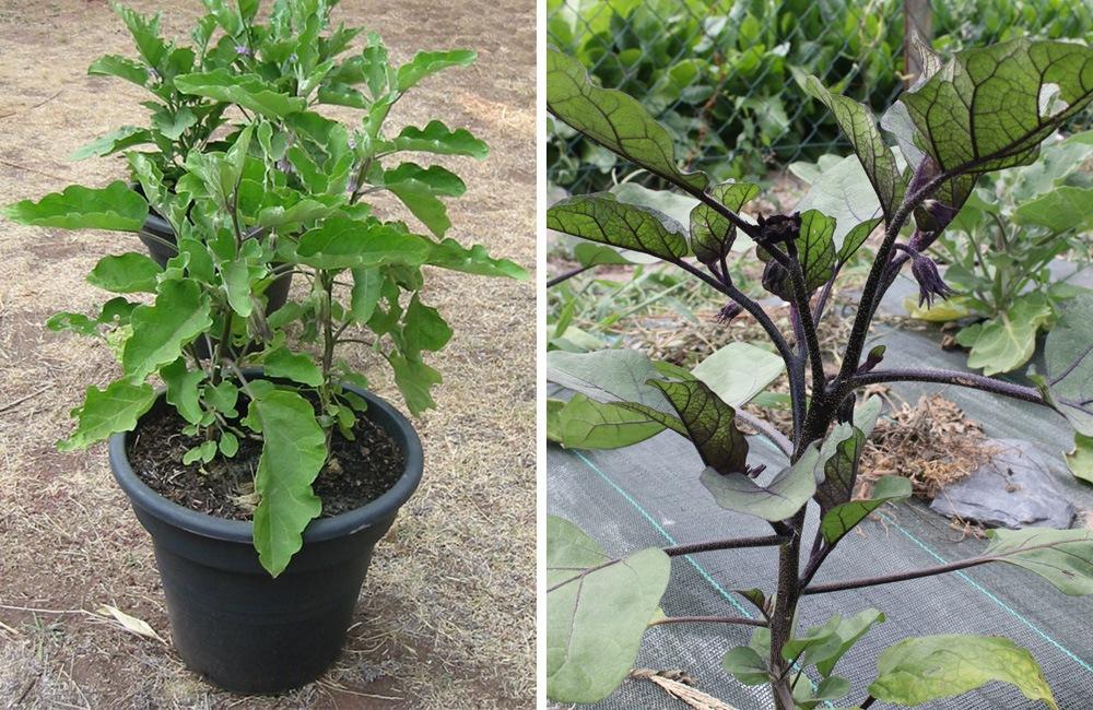 Réussir la culture de l'aubergine en pots ou en pleine terre plein air