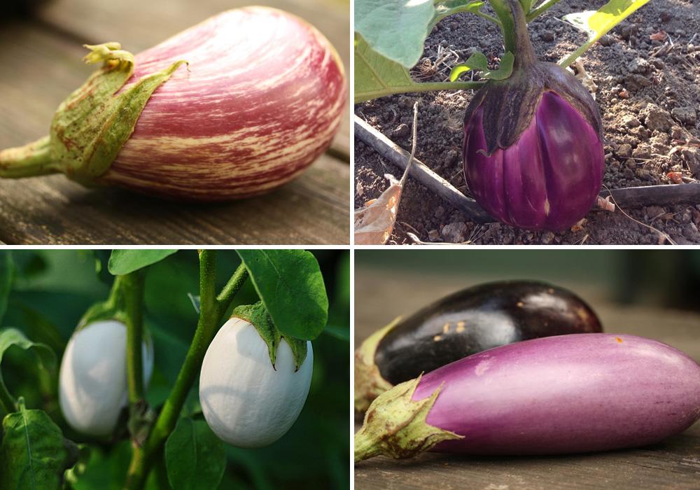 Quelques variétés d'aubergine aux formes et couleurs variées