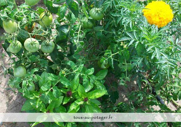 Planter les tomates avec ses plantes compagnes
