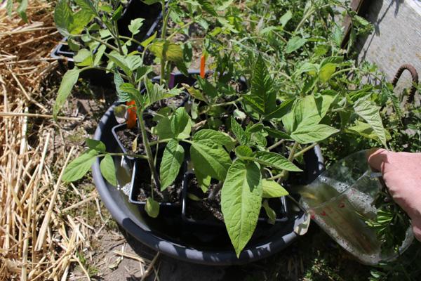 Imbiber les tomates avant de les planter