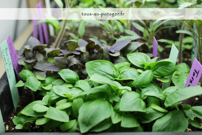 Semer le basilic pour avoir un choix large de variétés