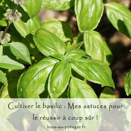Cultiver le basilic et le réussir : semis, plantation, entretien et récolte