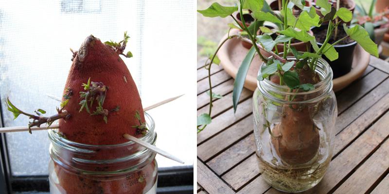 faire germer les patates douces dans de l'eau