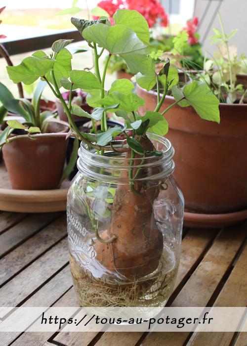 Mise en germination de la patate douce