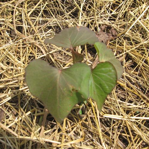 Jeune plant de patate douce mis en terre