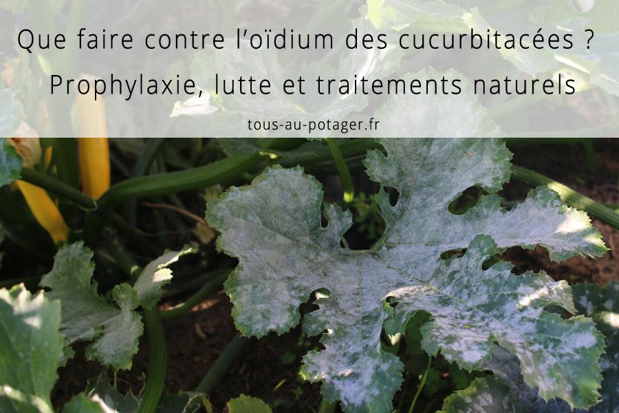 Oïdium des cucurbitacées : Lutte et traitements naturels efficaces