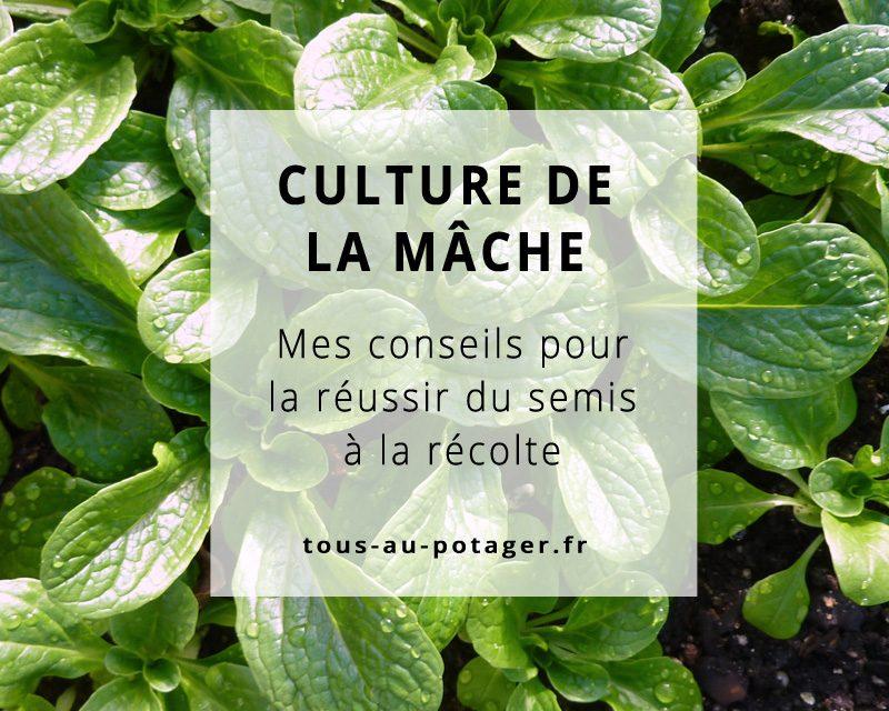 Culture de la mâche : Semer, planter, entretenir et récolter