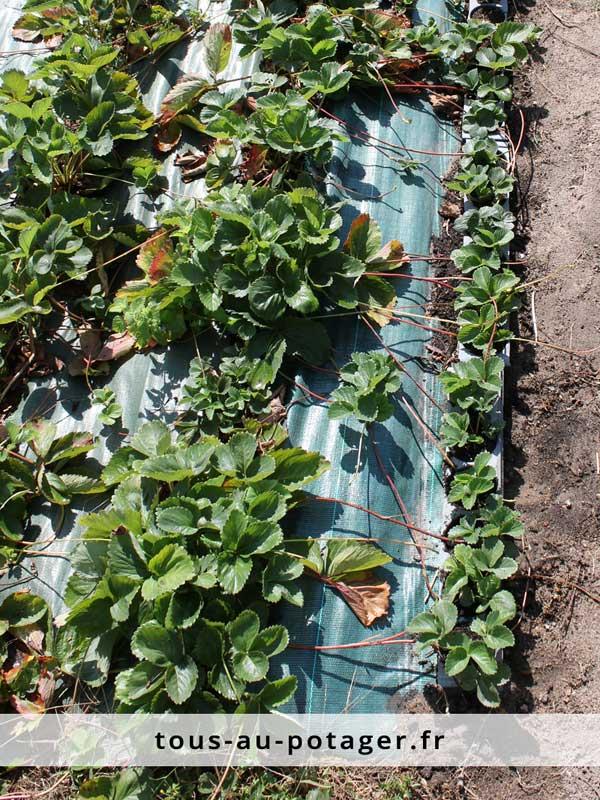 Jeunes plants de fraisiers issus de stolons