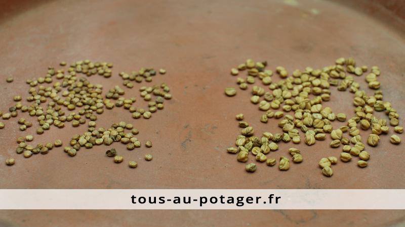 semences de mâches, à petites et grosses graines