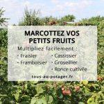 Marcotter les fraisiers, framboisiers, cassissiers, groseilliers, et ronces cultivées