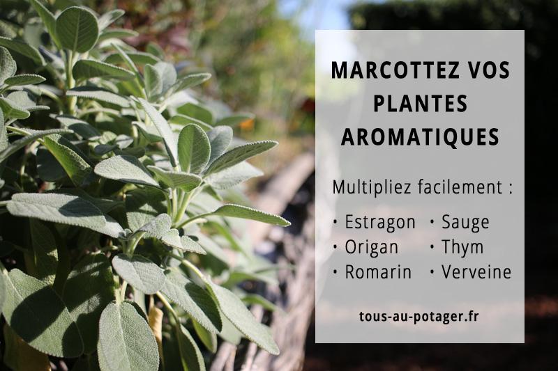 Marcotter les plantes aromatiques : estragon, origan, romarin, sauge, thym et verveine