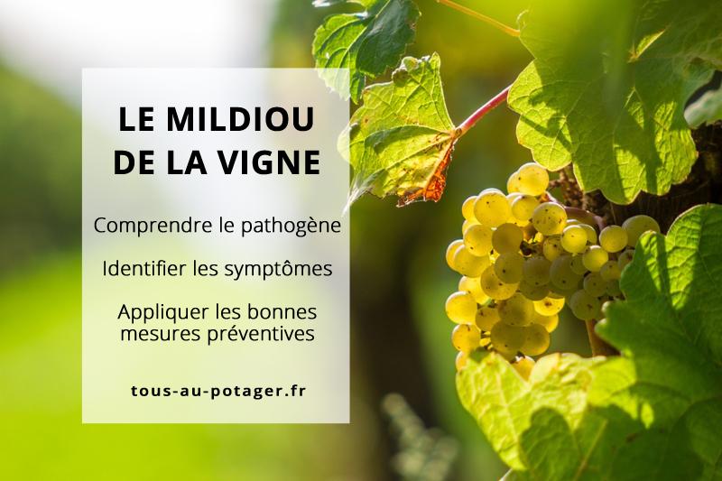 Le mildiou de la vigne : Comprendre, identifier et agir