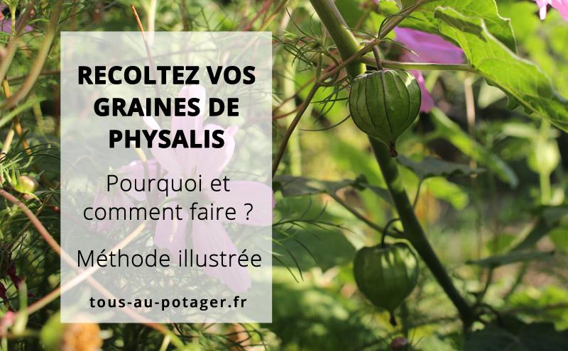 Récolter les graines de Physalis : Coqueret du Pérou, groseille du Cap et tomatillo