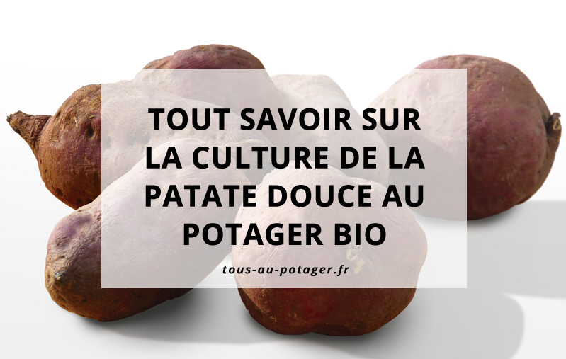 culture de la patate douce au potager bio