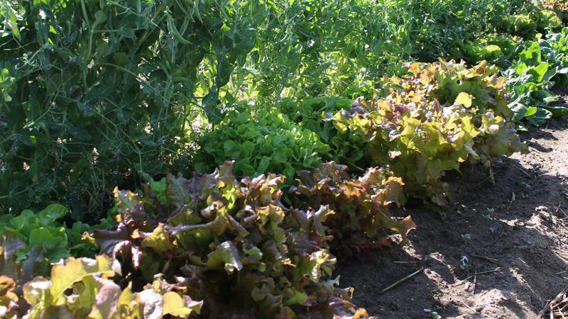 legumes feuilles