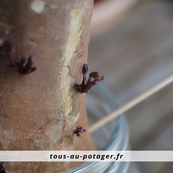bourgeons d'une patate douce