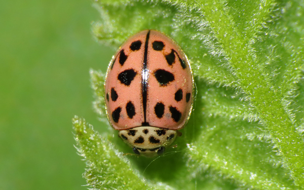 Coccinelle rose
