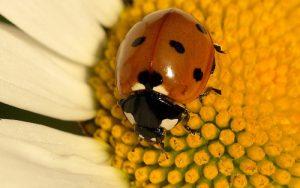 coccinella-septempunctata-le-poidesans