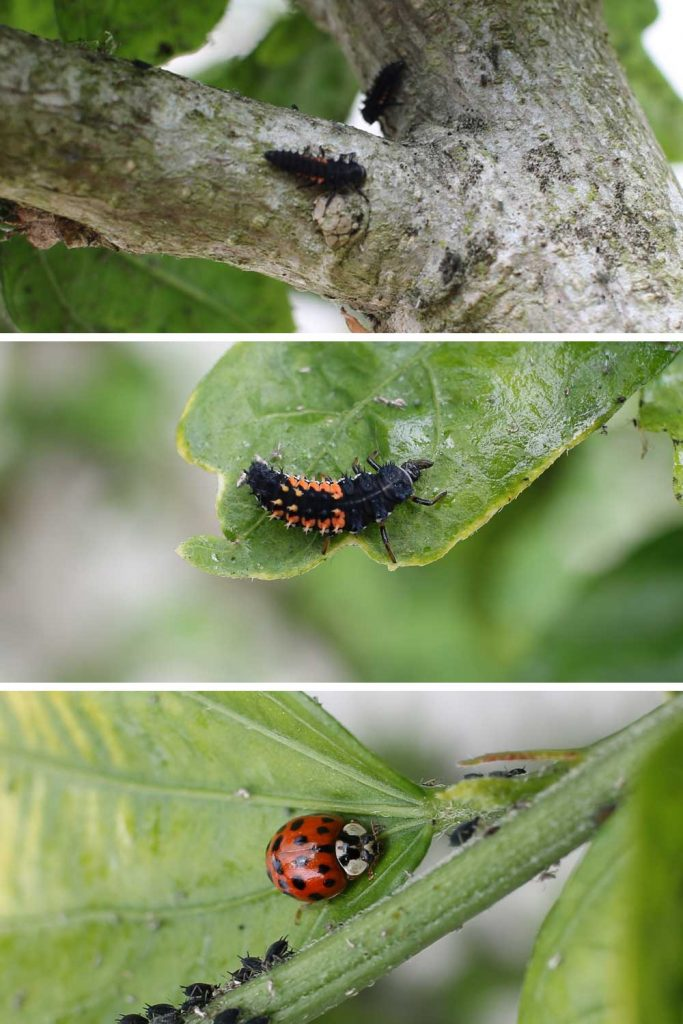 larves et adulte de la coccinelle asiatique