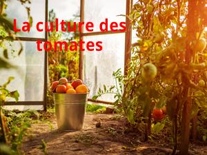 La culture des tomates au potager