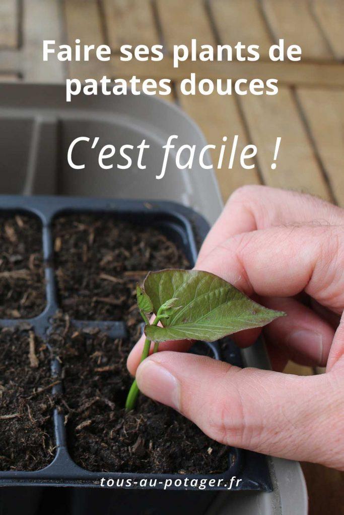 pourquoi et comment faire ses plants de patates douces