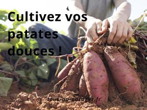 Dossier : la culture de la patate douce de A à Z