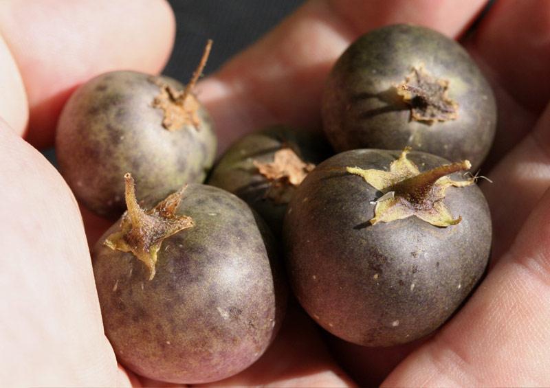 Fruits de pomme de terre
