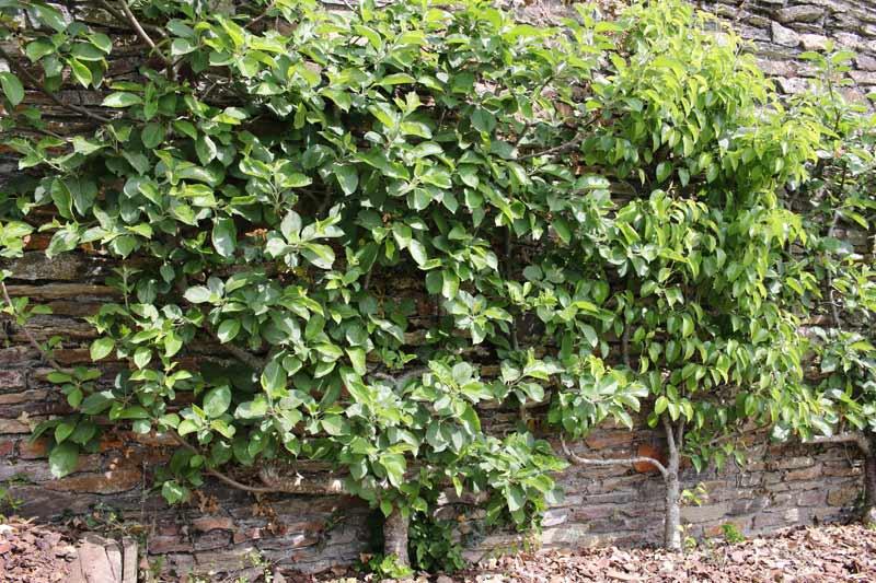 fruitiers cultivés à proximité d'un mur
