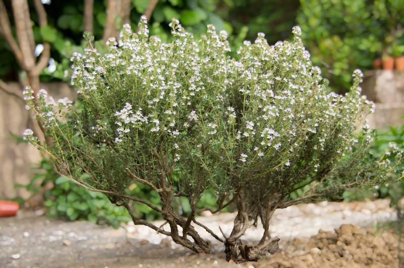 Thym : comment cultiver et entretenir cette plante aromatique ?